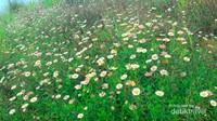 Padang bunga daisy di puncak Gunung Prau.