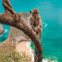 Monyet di kelingking beach