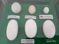 Koleksi telur unggas yang ditemukan di Pulau Tarakan.