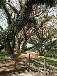 Penampakan De Djawatan dari atas pohon