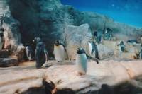 Berbagai jenis penguin dengan berbagai ukuran ada di sini.
