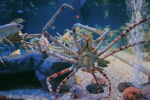 Kepiting Laba-Laba Jepang, atau sering juga disebut dengan Crabzilla.
