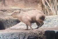 Kapibara, hewan pengerat terbesar di dunia.