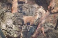 Coati, mamalia diurnal yang berasal dari Amerika Selatan.