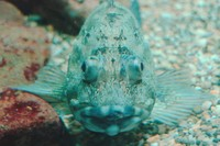 Salah satu jenis Rockfish Marmer.