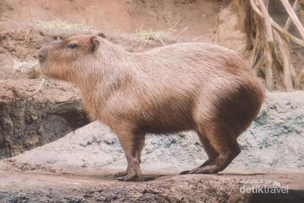 Kapibara, hewan pengerat terbesar.