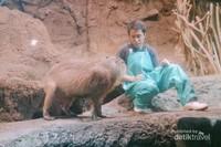 Pemandu di Kaiyukan Aquarium menjelaskan tentang Kapibara.