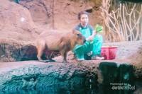 Kapibara merupakan herbivora.
