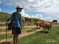 Menggembala bersama sapi liar  (Yoga/dtravelers)
