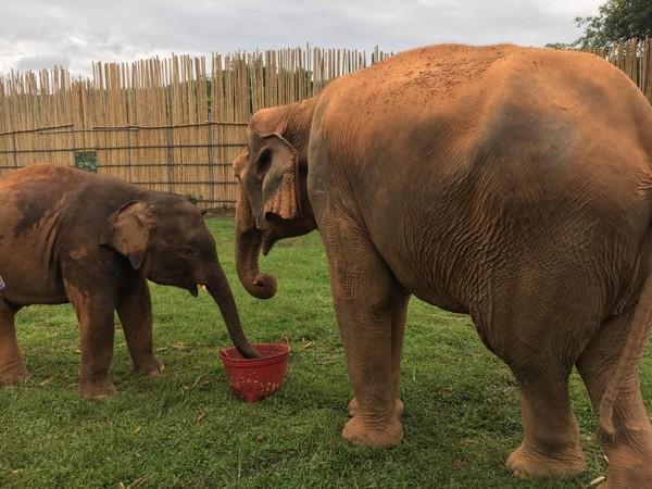 Gajah lucu berkeliaran dan bermain dengan bebas di Chiang Mai Elephant Jungle Sanctuary