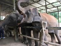 Kakek gajah mengantri dengan sabar untuk disuapi pisang