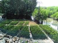 Bibit bakau, agar tanaman ini dapat tumbuh dengan baik diperlukan kondisi lingkungan yang cocok seperti substrat tanah dan pasang surut laut