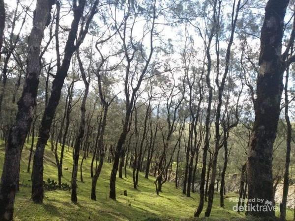 deretan pohon pinus yang menjulang tinggi dan rerumputan hijau membuat suasananya seakan diluar negri.