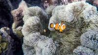 Bagi kamu yang hobi snorkeling,siap-siap ya disapa dengan ikan nemo yang lucu dan menggemaskan ini