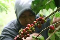 Petani memanen kopi Gayo.