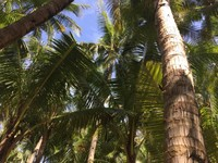 Deretan pohon kelapa tumbuh subur di bibir pantai ini, rindangnya pohon kelapa menjadikan tempat ini sering digunakan untuk berkemah.