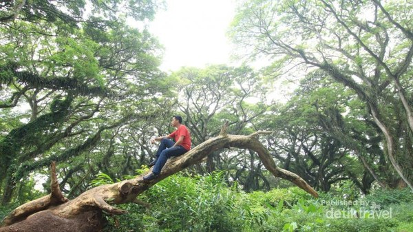 Hutan di sini dipenuhi oleh pohon trembesi yang sudah berusia puluhan tahun.