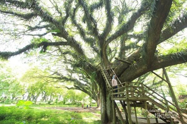 Beberapa pohon yang ada bisa kita naiki dengan tangga yang sudah ada.