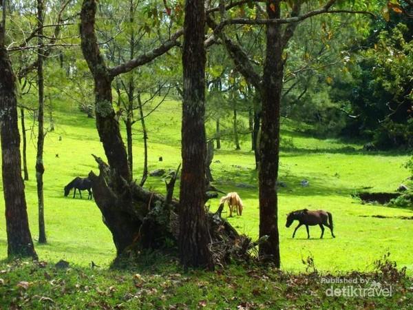 Kuda-kuda liar yang sedang merumput disekitar perbukitan nuat.