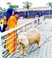 Domba yang jinak dan mudah didekati oleh pengunjung