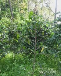 Inilah pohon kopi di kebun milik Malabar Mountain Coffee yang belum disiangi