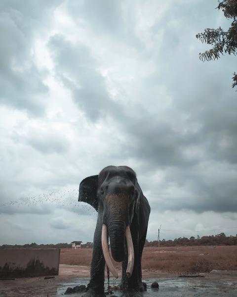 Gajah jantan usia 35 tahun, namanya Aris