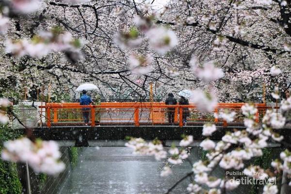 Hujan salju menutupi bunga sakura yang mulai mekar di Meguro River