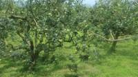 Pastinya kita bisa memetik apel langsung dari pohonnya