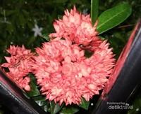 Tanaman ini bernama Bunga Asoka. Bunga ini mungkin telah sering ditemukan di halaman rumah banyak orang. Bunga ini tumbuh lebat di pekarangan rumah.