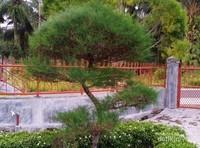 Siapa yang tidak kenal bonsai? Ya, tanaman yang dapat dibentuk dengan cara digunting daun dan rantingnya. Jika sudah tumbuh dengan besar, maka kita akan dapat membentuk tanaman ini sesuai keinginan kita.