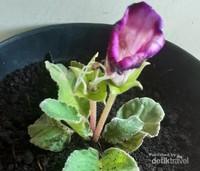 Yang terakhir, Bunga Gloxinia. Bunga ini berwarna ungu dan putih. Foto ini diambil saat saya baru memindahkan nya dari polybag ke pot besar. Saat mekar bunga ini akan mengembang dengan sempurna. selain berwarna ungu, Bunga ini juga memiliki varian berwarna merah. Sangat cantik bukan?Jadi bagaimana? Apakah anda tertarik untuk menanam bunga di halaman rumah anda?
