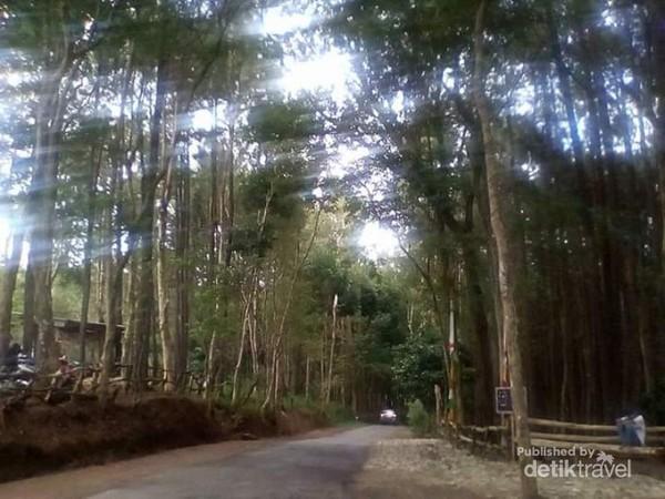 Jalan setapak di Hutan Pinus yang bersih.