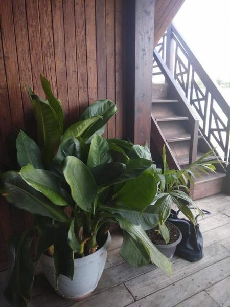 Pohon Jemani di sudut rumah makan yang mencuri perhatian.