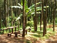 Ada bangku-bangku yang disediakan bagi pengunjung di bawah pohon pinus