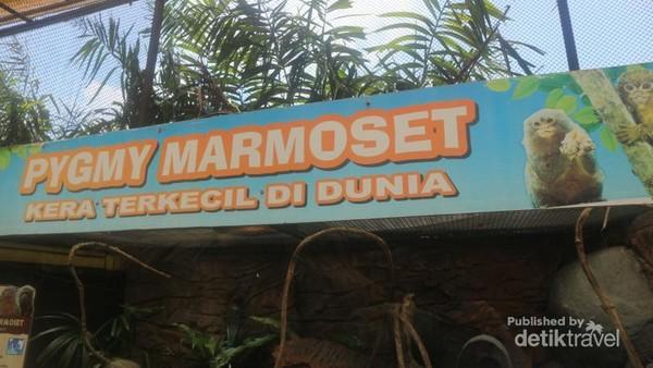 Kera terkecil di dunia dikenal sebagai pygmy marmoset
