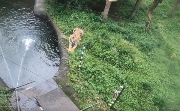 Harimau yang sedang bersantai di kandangnya