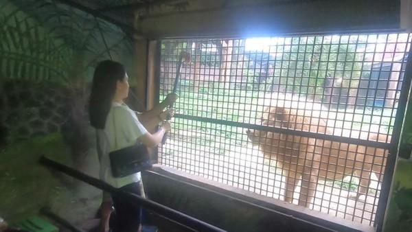 Kalau kamu cukup berani, bisa memberi makan singa dan harimau disini