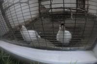 Sebagian besar ayam hias ini berasal dari China, seperti jenis White Eared Pheasant