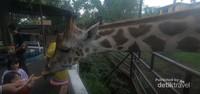 Tentunya moment bersama jerapah ini menjadi favorit pengunjung, khususnya anak-anak