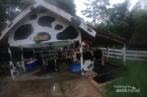 Kita bisa mengenal lebih dekat aneka jenis sapi perah di tempat ini