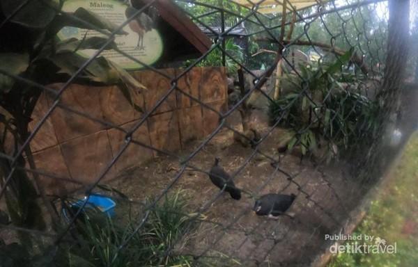 Selain hewan ternak, terdapat juga burung Maleo asal Sulawesi yang sudah mulai langka.