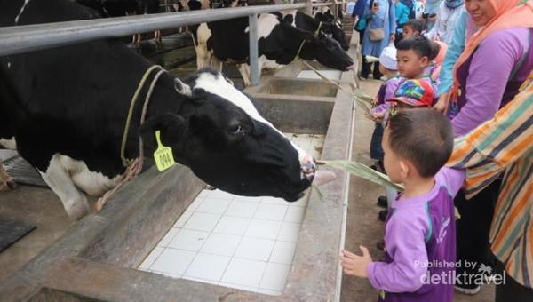 Bahkan kita bisa memberi makan sapi langsung di kandangnya