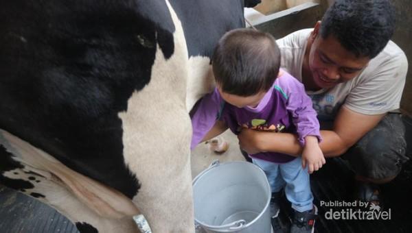 Yang seru kita bisa merasakan sensasi memerah susu sapi secara langsung