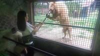 Walaupun singa agak terlalu bersemangat saat diberi makan, tapi jangan takut ya traveler