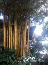 Pohon bambu kuning yang indah di salah satu sudut taman Muzium