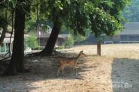 Rusa-rusa berkeliaran bebas di Pulau Peucang.