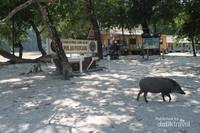 Babi Hutan berkeliling dengan bebasnya di Pulau Peucang. Hati-hati jika membawa makananan bisa sampai dikejar-kejar babi hutan.