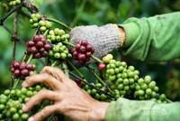 biji kopi terbaik foto by @endangguntorcangggu