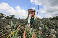 Seorang petani nanas Kelompok Tani Binaan RAPP, Desa Penyengat sedang melakukan panen nanas