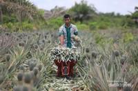Petani tengah mengumpulkan nanas yang baru saja dipanen untuk dipasarkan ke Pulau Jawa